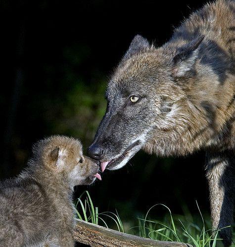wolf kissing its cub - photo #11